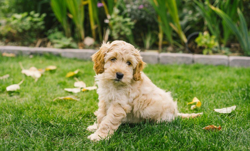 Golden Cockapoo puppy