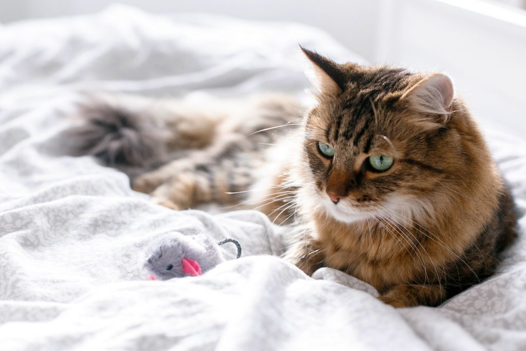 Self isolating cat playing with toy